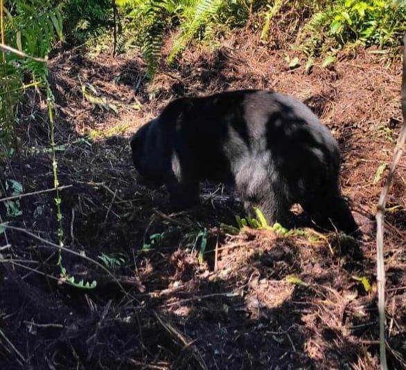 Terjerat di Kebun Sawit Warga, Seekor Beruang Madu Berhasil di Selamatkan