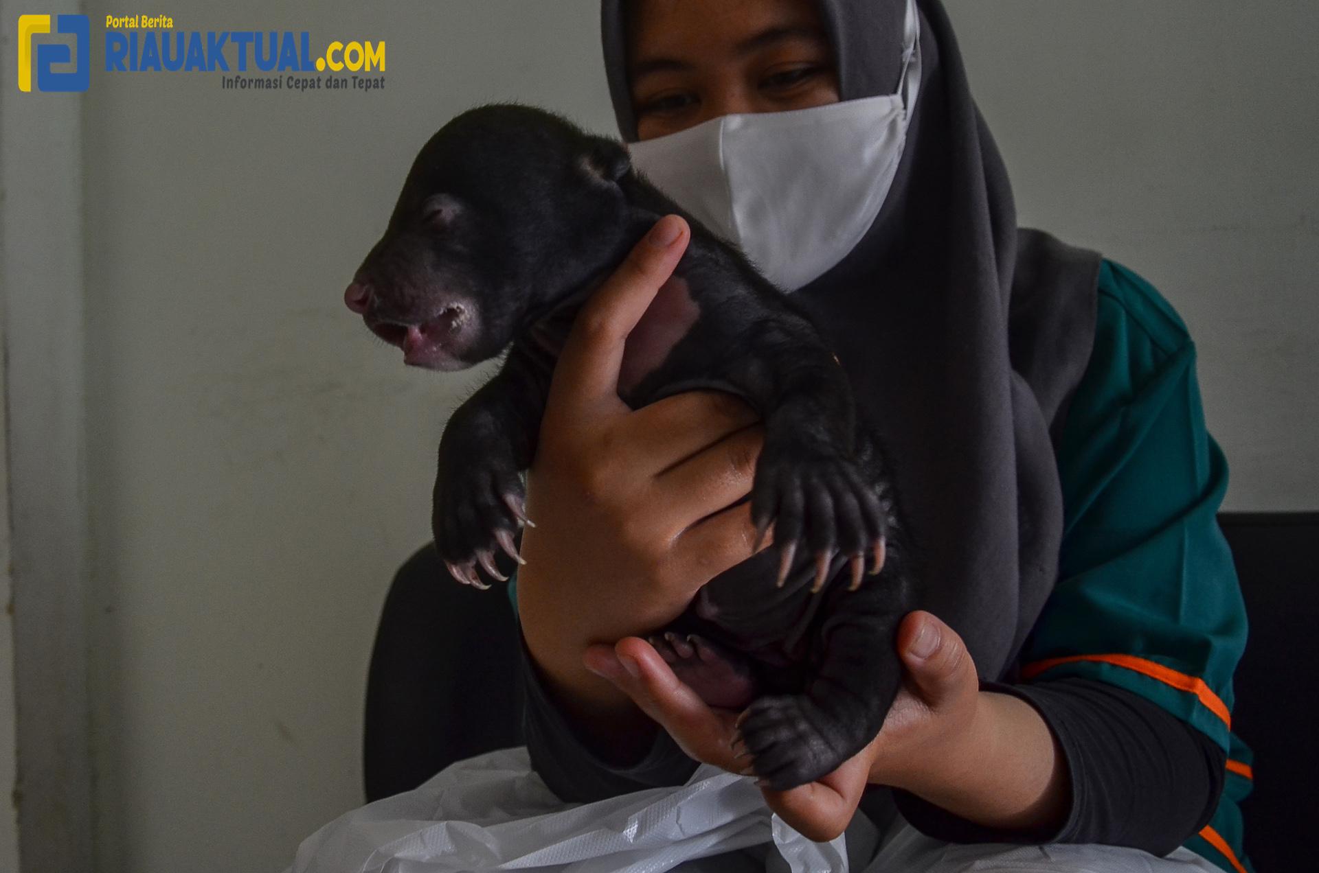 Tim Rescue Balai Besar KSDA Riau Evakuasi Bayi Beruang Madu