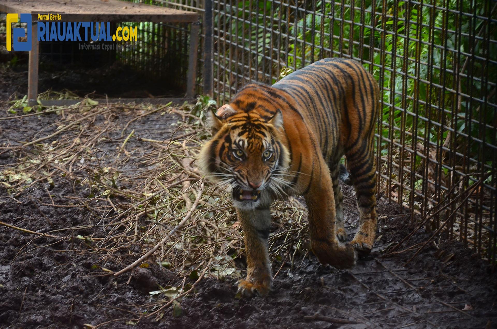 Usai Terjerat, Harimau Sumatera Corina Dilepaskan Ke Hutan Alam Semenanjung Kampar
